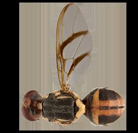 <em>Bactrocera albistrigata</em>